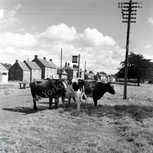 Flaxton. Cattle at a bus-stop